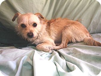 Maltese/Terrier (Unknown Type, Small) Mix Dog for adoption in Hollywood, Florida - Chelsea