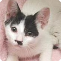 Domestic Shorthair Kitten for adoption in Miami, Florida - Manny