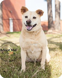 Terrier (Unknown Type, Medium)/Beagle Mix Dog for adoption in Cat Spring, Texas - Lucy