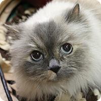 Adopt A Pet :: Nonik - Medina, OH