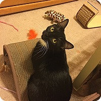 Domestic Shorthair Cat for adoption in Tampa, Florida - Domino