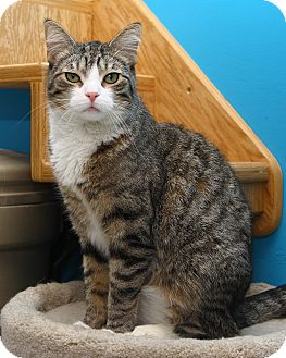 Domestic Shorthair Cat for adoption in Oakland, New Jersey - Eros