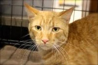 Domestic Shorthair Cat for adoption in Bruce Township, Michigan - Rascal