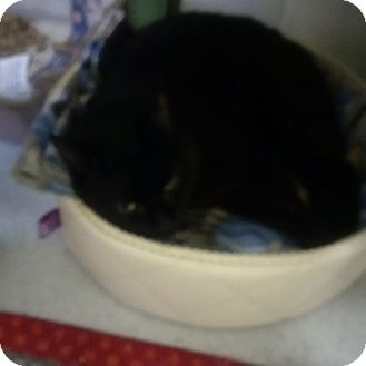 Domestic Mediumhair Cat for adoption in North Kingstown, Rhode Island - Blackie
