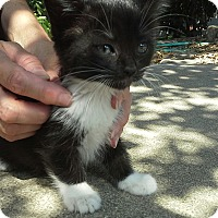 Domestic Shorthair Kitten for adoption in Monrovia, California - Kovu