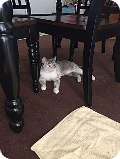 Domestic Shorthair Cat for adoption in Acworth, Georgia - Lala