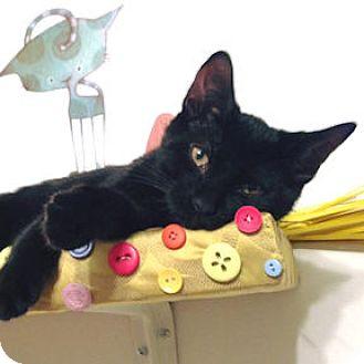 Domestic Shorthair Kitten for adoption in Verdun, Quebec - Black Jack