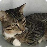 Domestic Shorthair Cat for adoption in Manteo, North Carolina - Boba