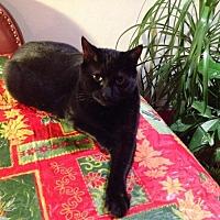 Adopt A Pet :: Veronyx (Courtesy Listing) - Hampton, VA