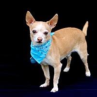 Chihuahua Mix Dog for adoption in Litchfield Park, Arizona - Bear