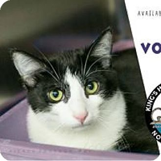 Domestic Shorthair Cat for adoption in Davenport, Iowa - Boo/ VooDoo