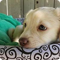 Adopt A Pet :: Parmesan - Los Banos, CA