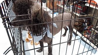 Poodle (Miniature) Dog for adoption in Hazard, Kentucky - Oscar