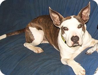 American Staffordshire Terrier/Australian Cattle Dog Mix Dog for adoption in Conway, Arkansas - Georgia