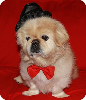 Pekingese Mix Dog for adoption in Richmond, Virginia - Jesse