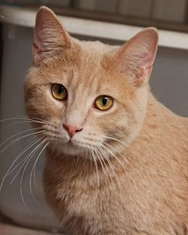 Domestic Shorthair Cat for adoption in Savannah, Missouri - Chuck