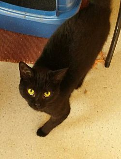 Domestic Shorthair Cat for adoption in Port Clinton, Ohio - Grace