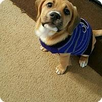 Adopt A Pet :: Maple - North Brunswick, NJ