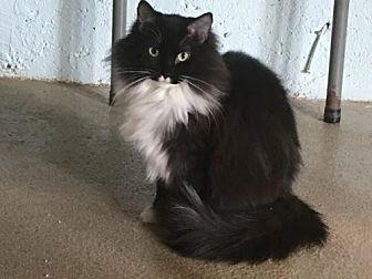 Domestic Shorthair Cat for adoption in Alpharetta, Georgia - Miley