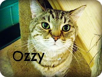 Domestic Shorthair Cat for adoption in Defiance, Ohio - Ozzy