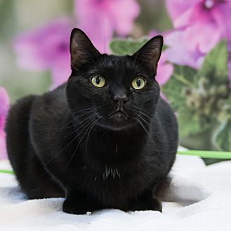 Domestic Shorthair Cat for adoption in Houston, Texas - Curly