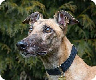 Greyhound Dog for adoption in Seattle, Washington - Crysytal