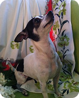 Chihuahua Dog for adoption in Cumberland, Maryland - Minnie Mouse