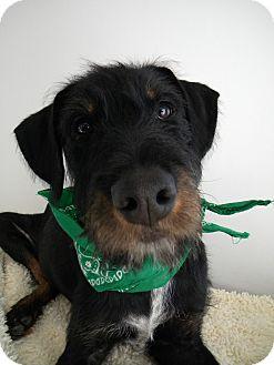 Irish Wolfhound/Terrier (Unknown Type, Medium) Mix Puppy for adoption in Monteregie, Quebec - O'Malley