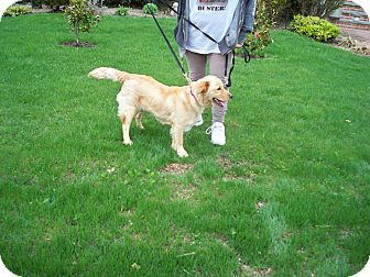 Golden Retriever/Border Collie Mix Puppy for adoption in Freeport, New York - Hope