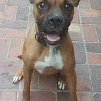 Boxer Dog for adoption in Porter Ranch, California - Raspberry