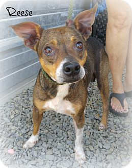 Terrier (Unknown Type, Small) Mix Dog for adoption in Eden, North Carolina - Reese
