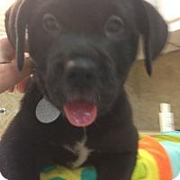 Adopt A Pet :: Barron - Marietta, GA
