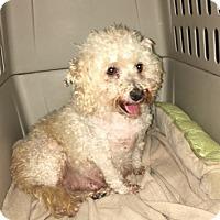 Bichon Frise Mix Dog for adoption in Temecula, California - Rachel