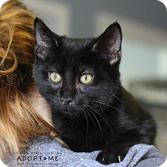 Domestic Shorthair Cat for adoption in Edwardsville, Illinois - Rover