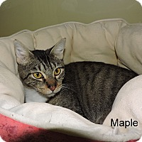 Domestic Shorthair Cat for adoption in Slidell, Louisiana - Maple
