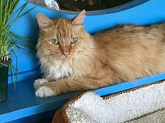 Domestic Mediumhair Cat for adoption in Topeka, Kansas - Precious