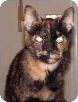 Domestic Shorthair Cat for adoption in Milford, Ohio - Patches