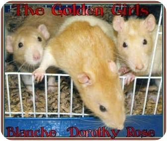 Rat for adoption in Las Vegas, Nevada - The Golden Girls