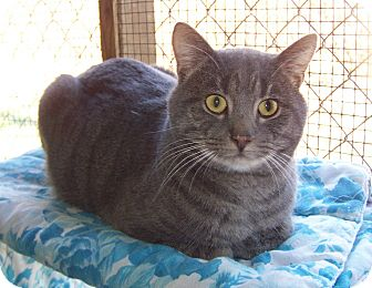 Domestic Shorthair Cat for adoption in Dover, Ohio - Rico