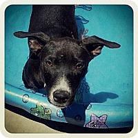 Adopt A Pet :: Halo - Bakersfield, CA