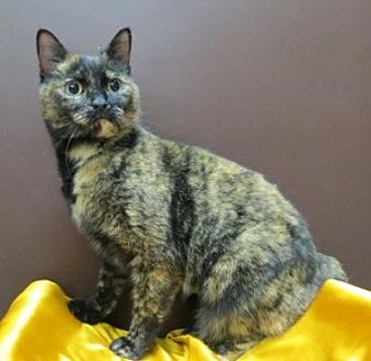 Domestic Shorthair Cat for adoption in St. Louis, Missouri - Shelby