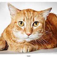 Adopt A Pet :: Tigger - New York, NY
