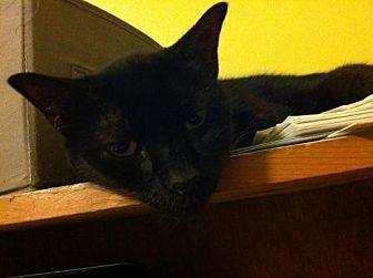 American Shorthair Cat for adoption in St. Cloud, Florida - Raffy