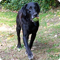Adopt A Pet :: Lady - Courtesy Posting - New Canaan, CT