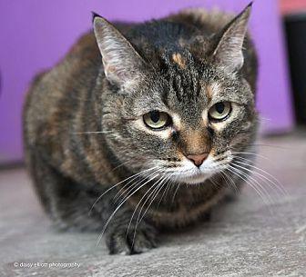 Domestic Shorthair Cat for adoption in Tucson, Arizona - Elsa