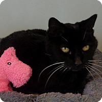 Domestic Shorthair Cat for adoption in Lompoc, California - Midge