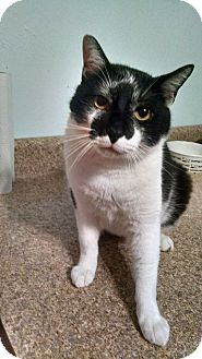 Domestic Shorthair Cat for adoption in Maryville, Tennessee - Olaf