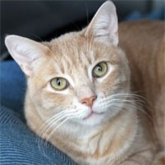 Domestic Shorthair Cat for adoption in Pacific Grove, California - Billy