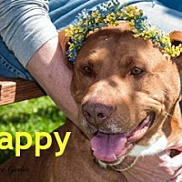 Adopt A Pet :: Cappy - Hamilton, MT