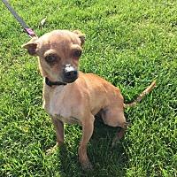 Adopt A Pet :: Scarlina - Fresno, CA